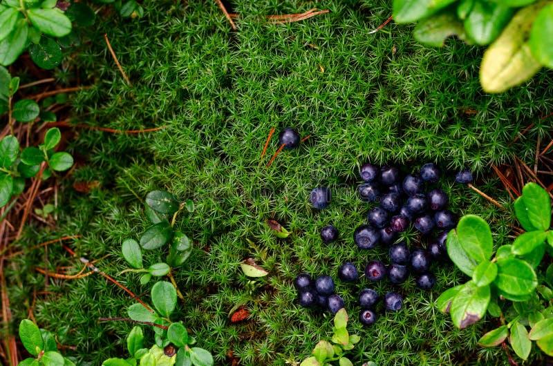 Frische Blaubeere Piking, Beeren sind auf grünem Moos mit Pelzbaumnadeln stockfotos