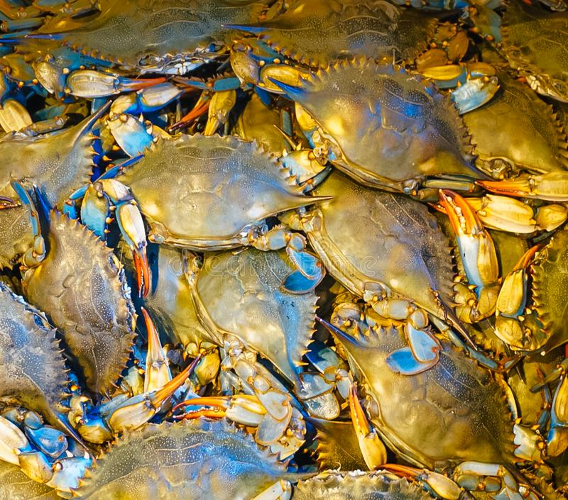 Frische blaue Krabben Marylands stockfoto