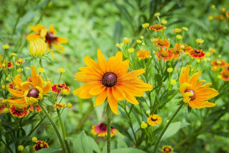 Frische Blumen coneflower im Garten lizenzfreies stockbild