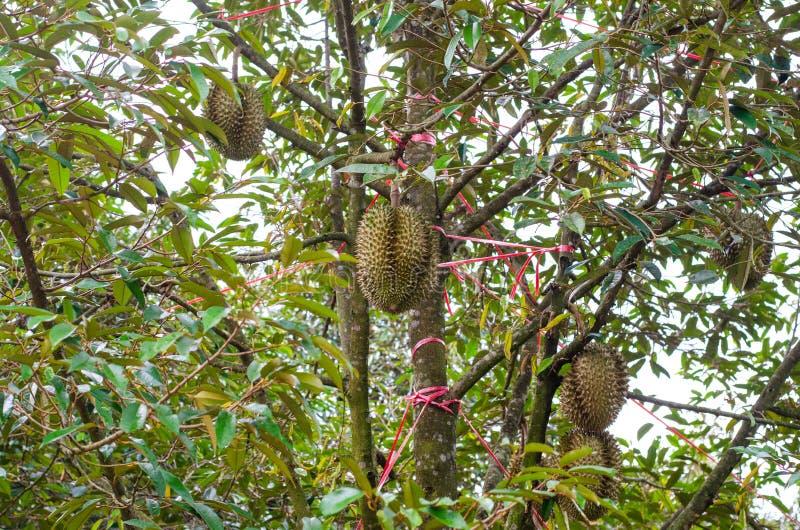 Frische Durianfrucht auf Baum Durian ist K?nig der Frucht stockfotografie