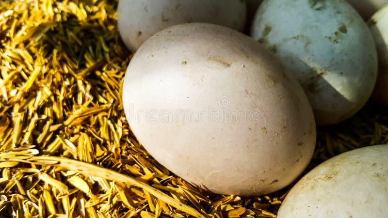 Frische Ente ärgert auf der Hülsen im Bauernhof stockfoto
