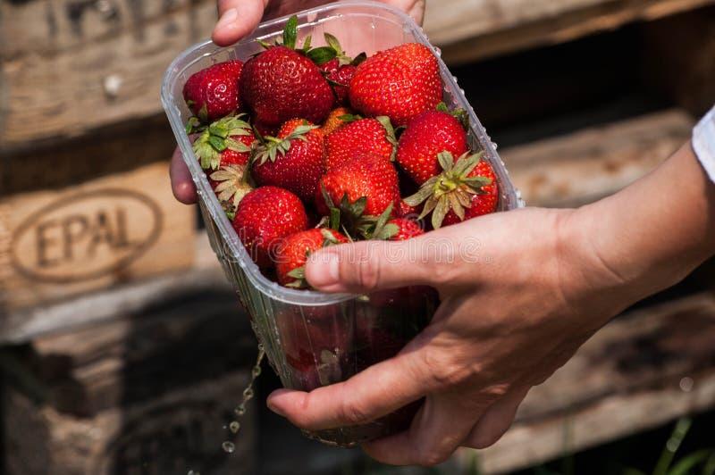 Frische Erdbeeren stockbild