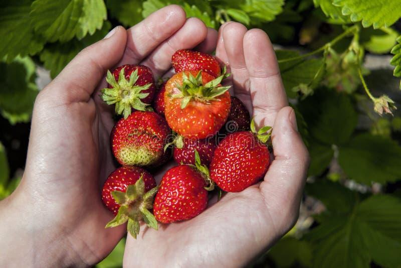 Frische Erdbeeren in den Händen stockfoto
