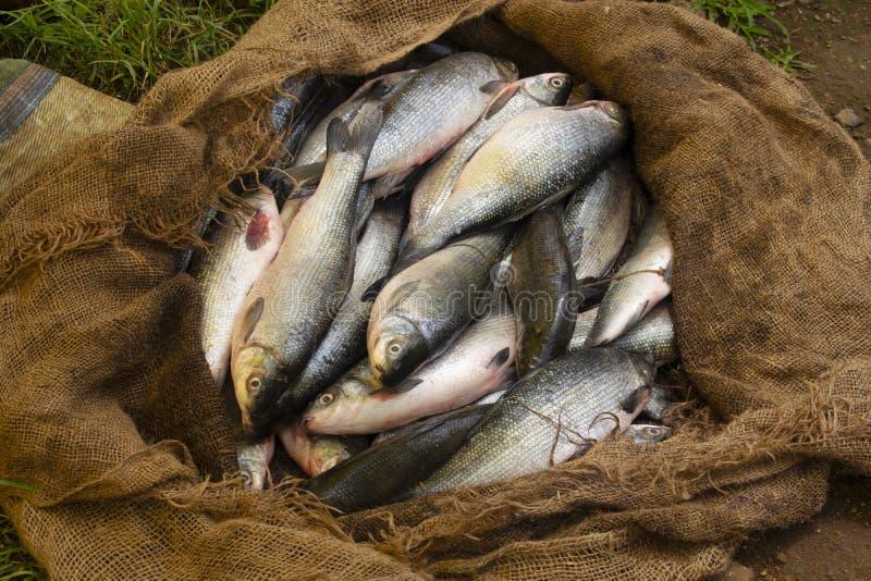 Frische Fische im Verkauf am ländlichen Markt, Titamba-Dorf, Dharni Taluka, Amravati-Bezirk, Maharashtra, Indien lizenzfreie stockbilder