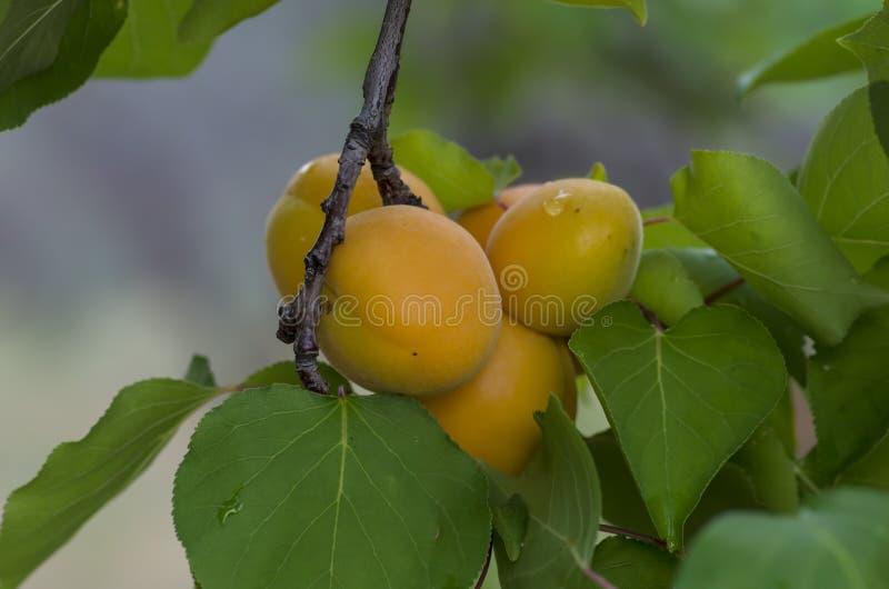 Frische Früchte, Landwirtschaft, Aprikosenbaum stockbilder