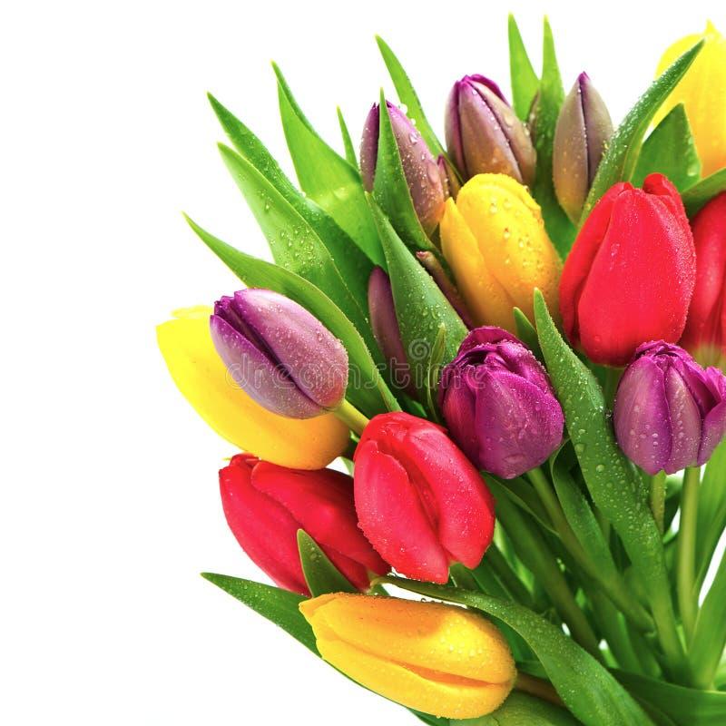 Frische Frühlingstulpenblumen mit Wassertropfen lizenzfreie stockfotos