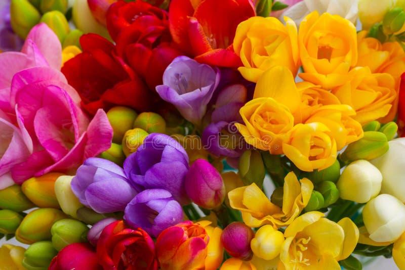Frische Freesieblumen lizenzfreies stockbild