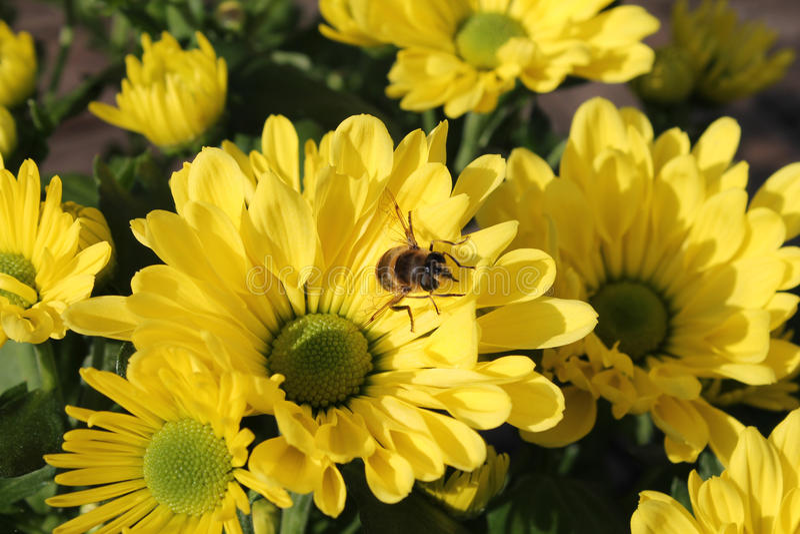 Frische gelbe Chrysanthemen mit einer Biene lizenzfreie stockbilder