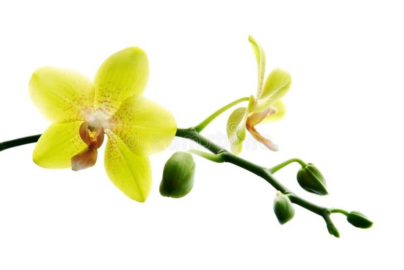 frische gelbe orchideen lizenzfreie stockfotos bild. Black Bedroom Furniture Sets. Home Design Ideas