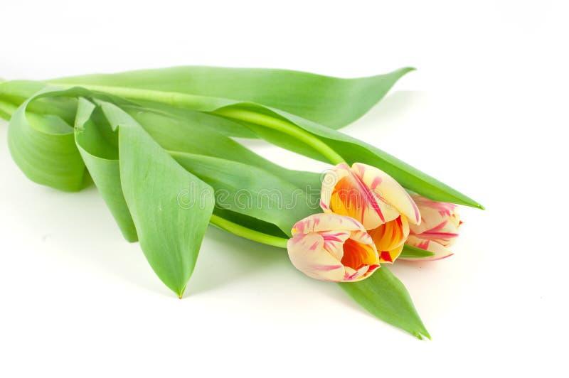Frische gelbe rote Tulpen lokalisiert auf weißem Hintergrund stockbild
