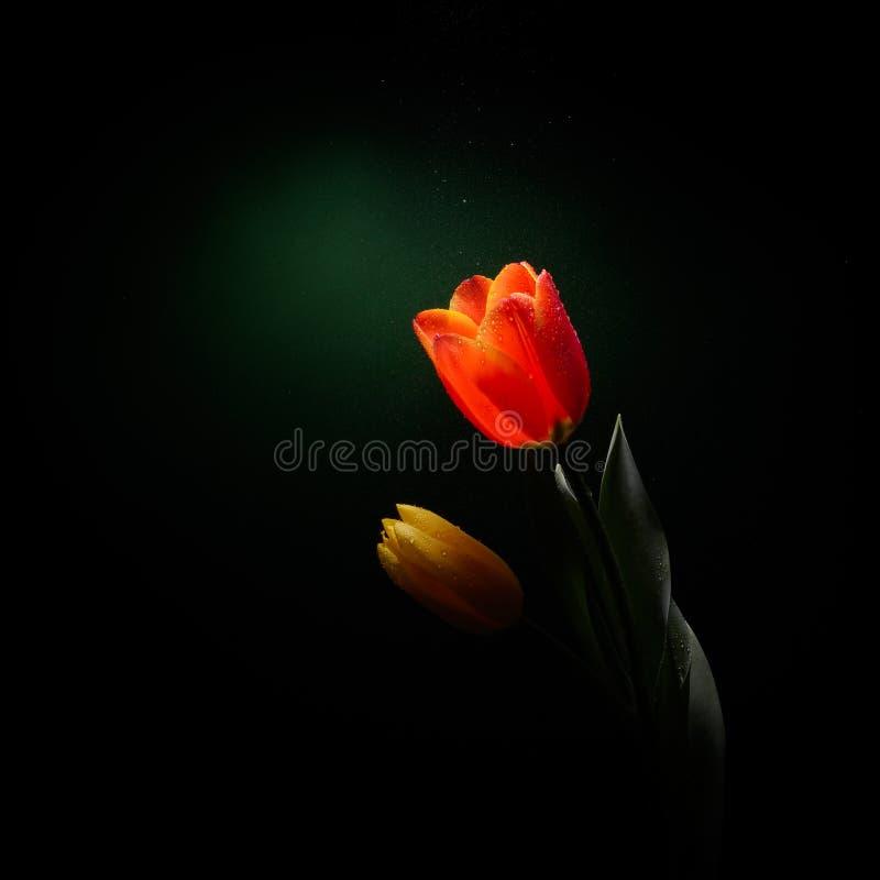 Frische gelbe Tulpe lokalisiert im Studio lizenzfreie stockfotos