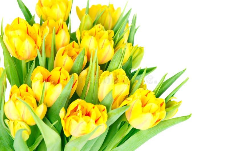 Frische gelbe Tulpeblumen stockfotos