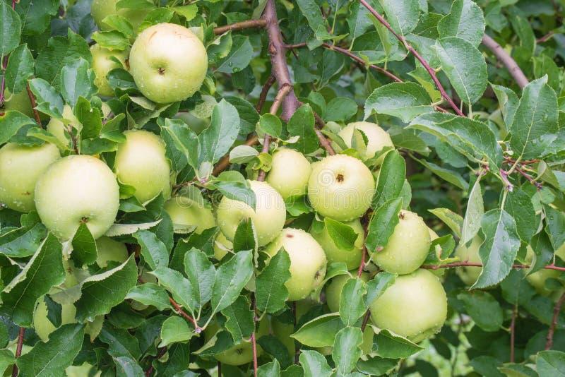 Frische Golden- Delicious Äpfel stockfotografie