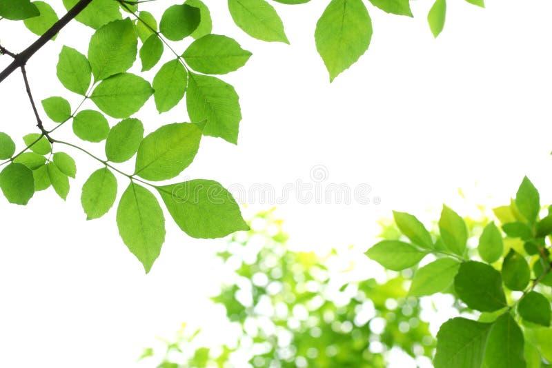 Frische Grünblätter stockfoto