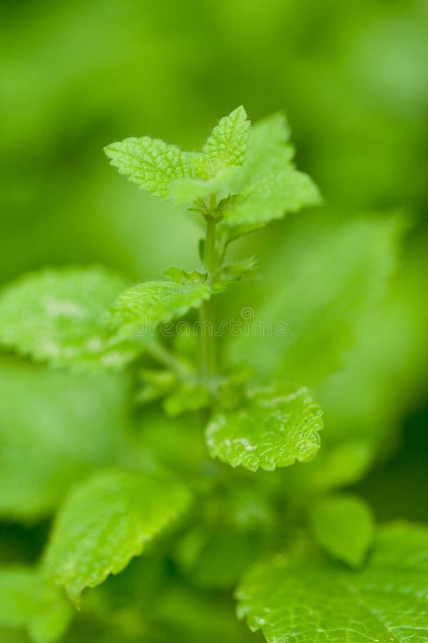 Frische grüne aromatische tadellose Melissenpfefferminzmakronahaufnahme lizenzfreie stockfotos