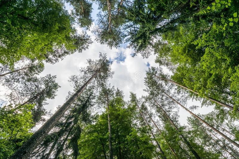 Frische grüne Bäume in Puszcza Knyszynska lizenzfreie stockbilder