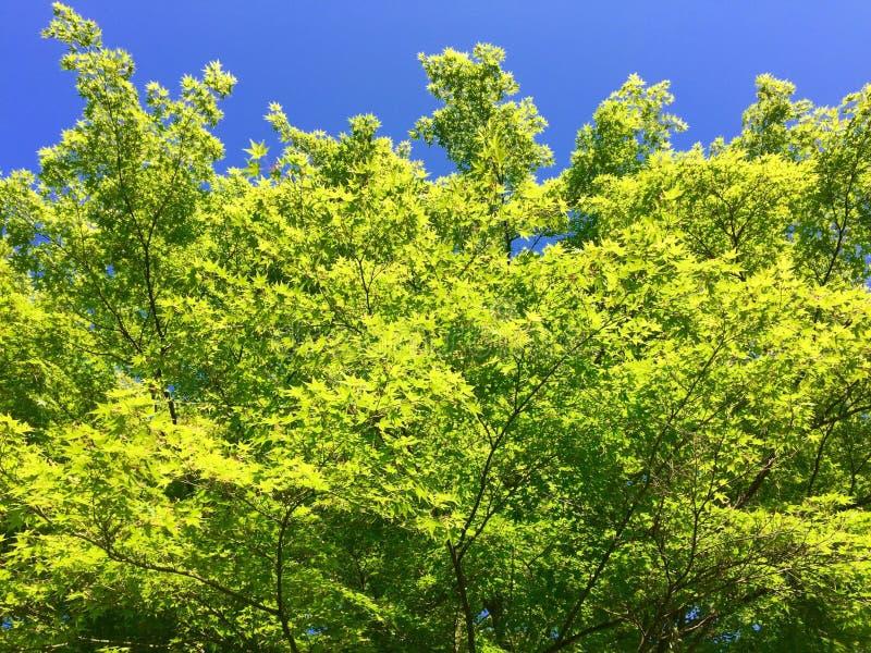 Frische grüne Baumblätter gegen blauen Himmel stockfotografie