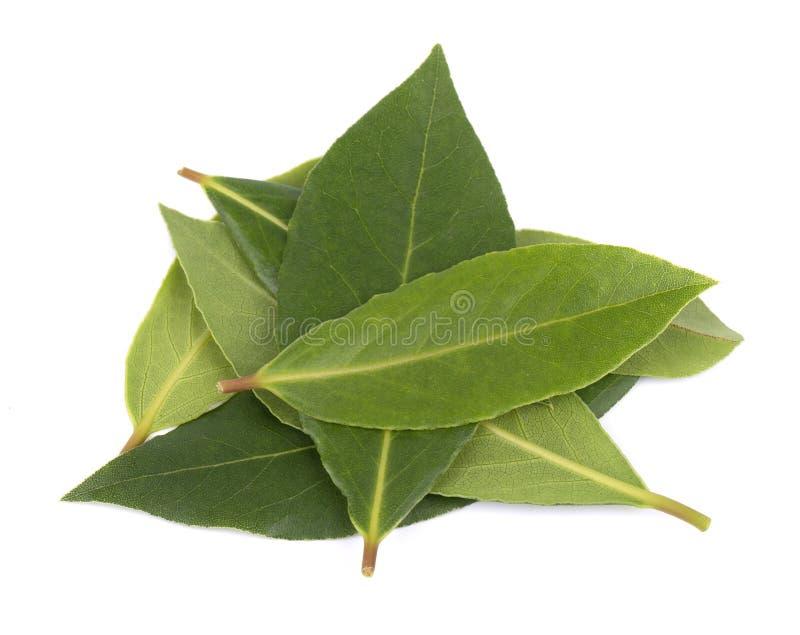 Frische grüne Blätter des Lorbeerblatts lokalisiert auf weißem Hintergrund Laurus lokalisiert stockbilder