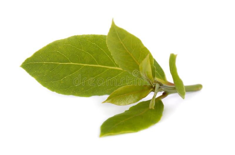 Frische grüne Blätter des Lorbeerblatts lokalisiert auf weißem Hintergrund Laurus lokalisiert lizenzfreie stockfotografie