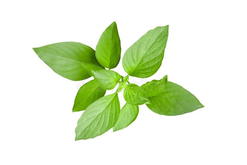 Frische grüne Blätter thailändischen Zitronenbasilikums oder des grauhaarigen Basilikums tropisches h lizenzfreie stockbilder