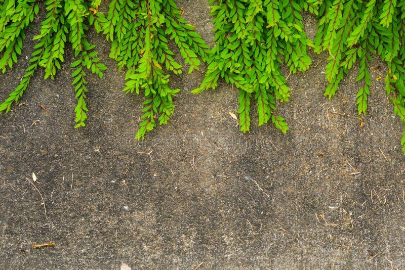 Frische grüne Blattanlage auf Schmutzwandhintergrund. stockfotos