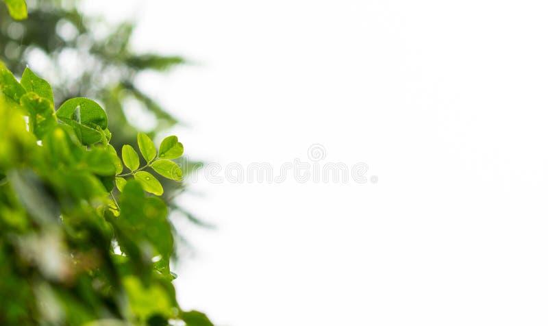Frische grüne Clitoria Ternatea-Blätter nahmen ausführlich gefangen stockbilder
