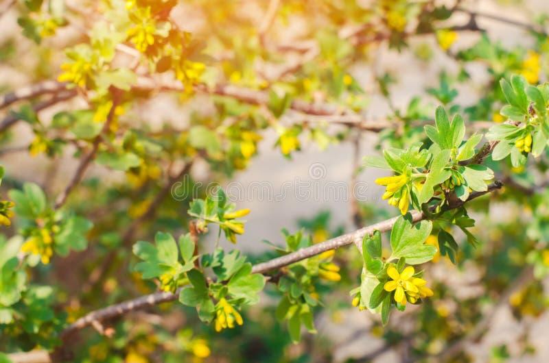 frische grüne junge Niederlassungen und Korinthenblätter, das Konzept des Frühlinges, ein grüner Busch Blühende Korinthe lizenzfreies stockfoto