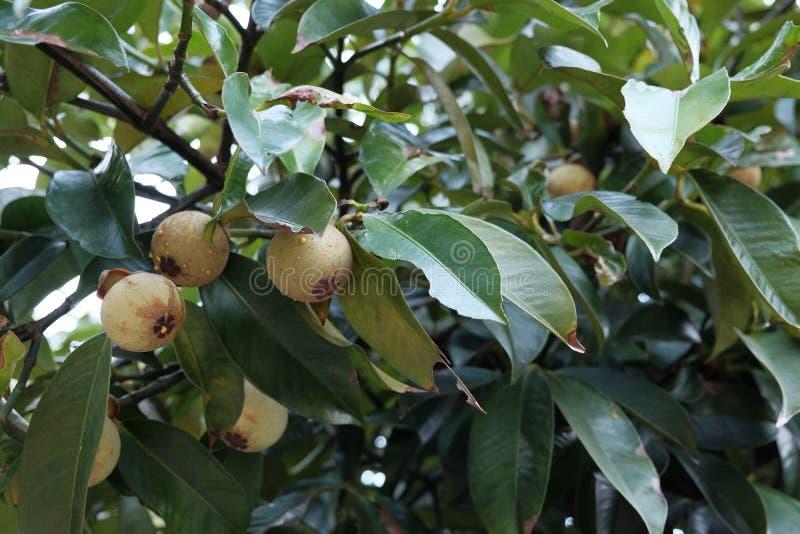 Frische grüne Mangostanfrucht lizenzfreies stockfoto