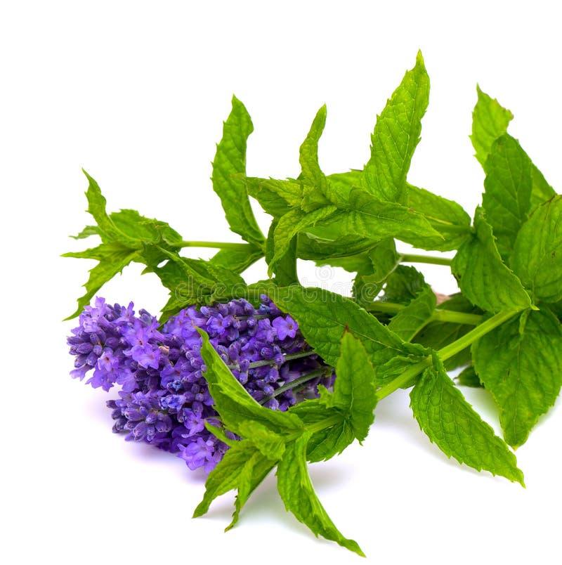 Frische grüne Minze und Lavendel stockbild