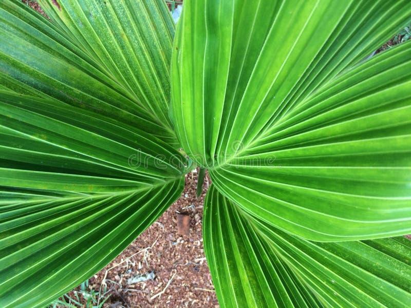 Frische grüne Palmblätter lizenzfreies stockbild