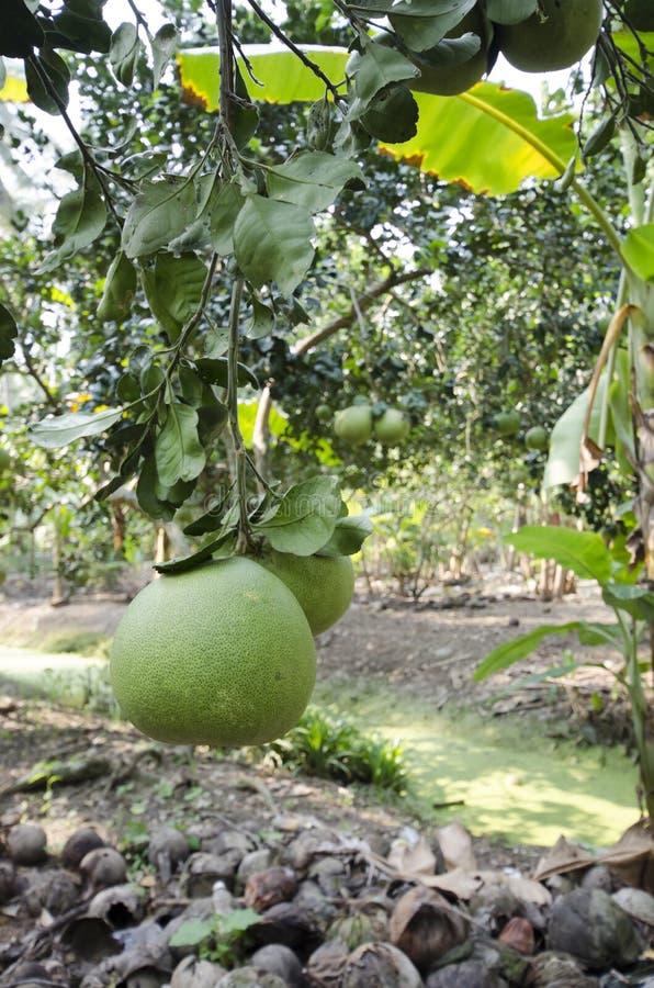 Frische grüne Pampelmuse im Garten stockfotos