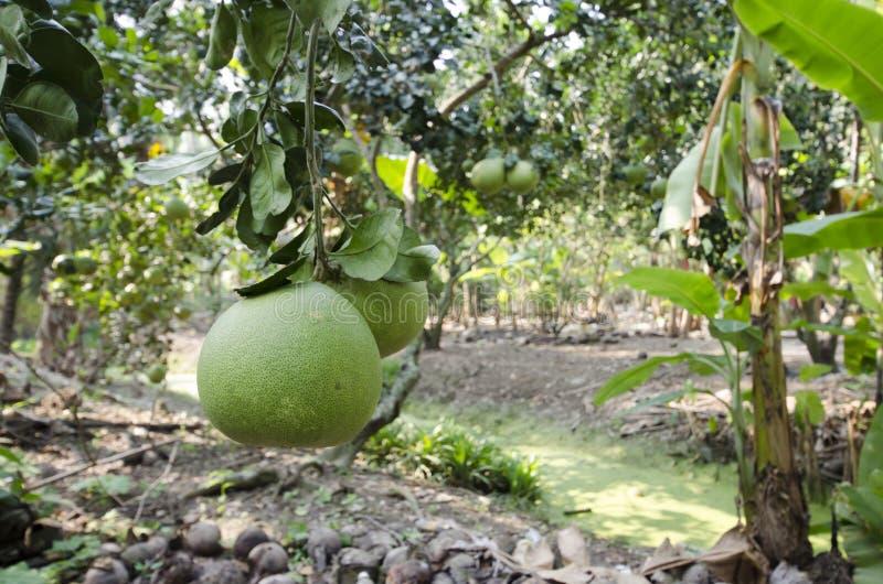 Frische grüne Pampelmuse im Garten lizenzfreie stockfotografie