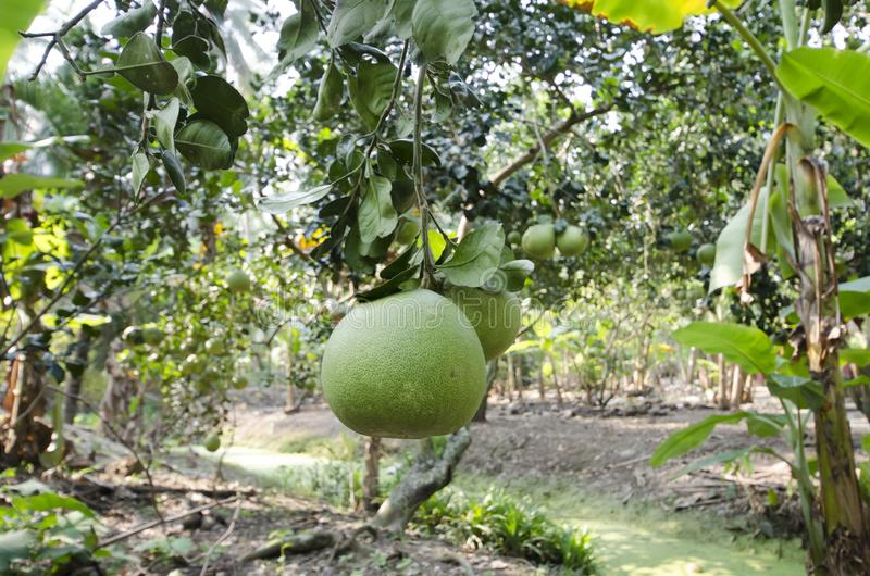 Frische grüne Pampelmuse im Garten lizenzfreies stockfoto