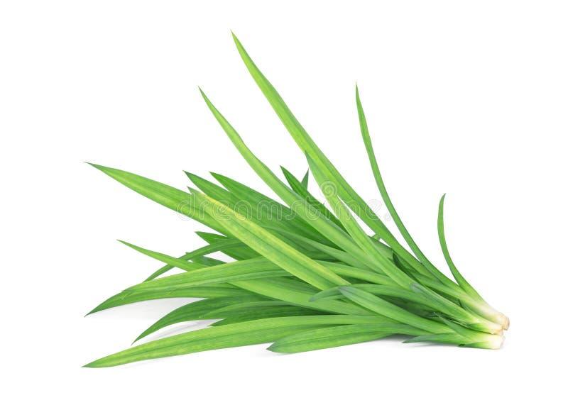 Frische grüne pandan Blätter lokalisiert auf weißem Hintergrund stockfotografie