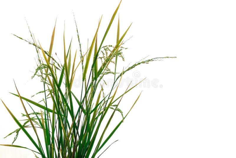 Frische grüne Reispflanze lokalisiert auf weißem Hintergrund der Datei mit Beschneidungspfad stockfoto