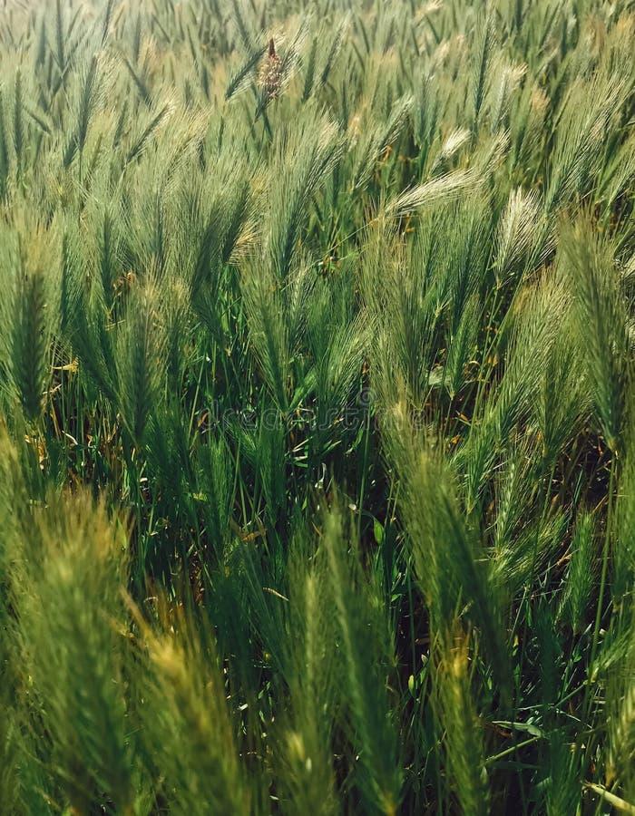 Frische grüne Weizenähren im sonnigen Licht Hafer, Roggen, Gerstenfeld mit neuen organischen Kulturen Hallo Frühling Eco Nahrung stockbilder