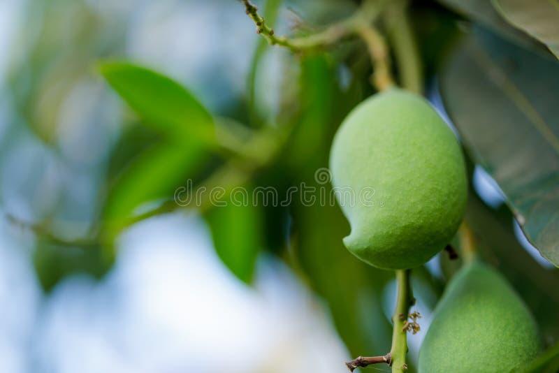 frische gr?ne Mangofrucht auf Baum lizenzfreie stockfotos