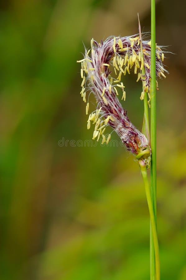 Frische Gras-Blume mit unscharfem Hintergrund stockfotos