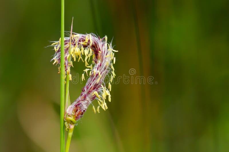 Frische Gras-Blume mit unscharfem Hintergrund lizenzfreies stockfoto