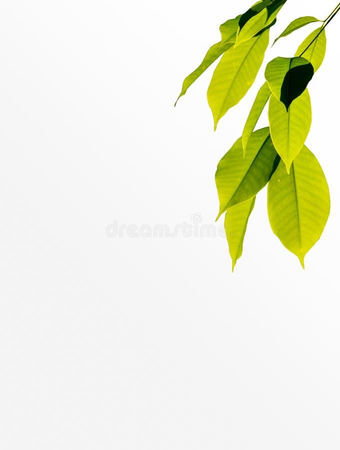 Frische, hellgrüne Bäume isolieren sich auf weißem Grund lizenzfreies stockfoto
