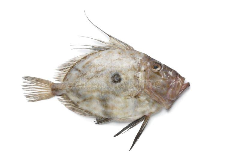 Frische John-Ruderbootfische lizenzfreie stockfotografie