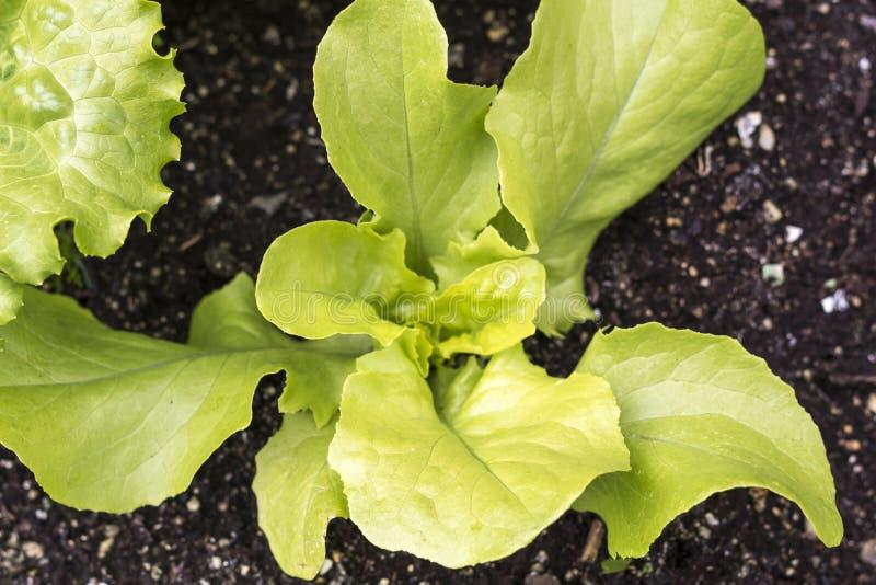 Frische junge Blätter und Sprösslinge des grünen Salats Kopfsalat, der im Garten w?chst lizenzfreie stockfotos