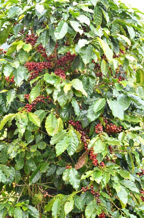 Frische Kaffeebohne auf Baum stockbilder