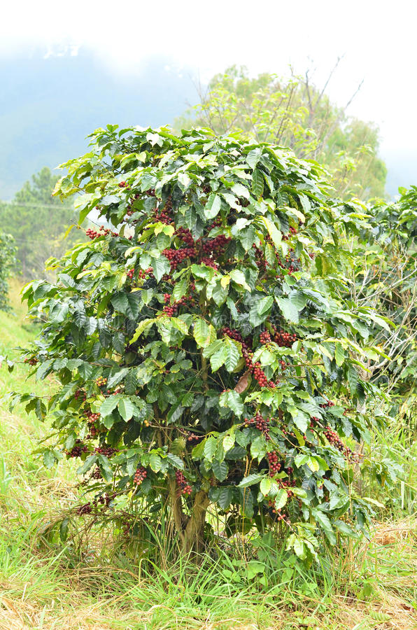 Frische Kaffeebohne auf Baum stockfoto