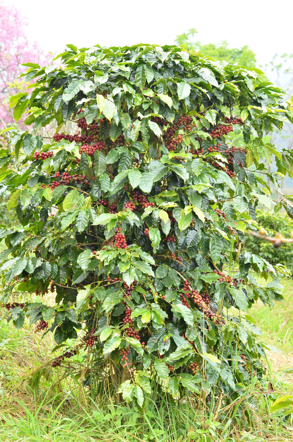 Frische Kaffeebohne auf Baum lizenzfreies stockfoto