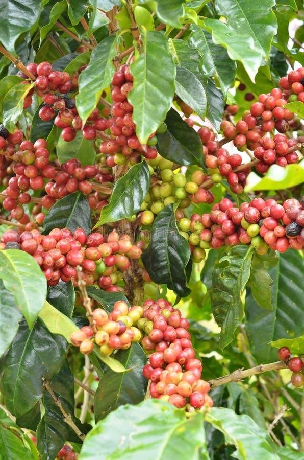 Frische Kaffeebohne auf Baum stockfotografie