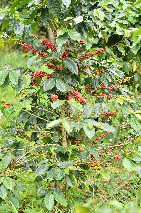 Frische Kaffeebohne auf Baum lizenzfreie stockbilder