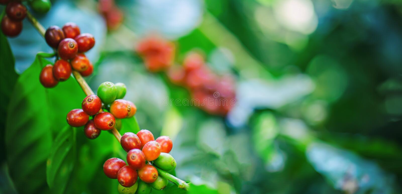 Frische Kaffeebohnen auf Baum stockfoto