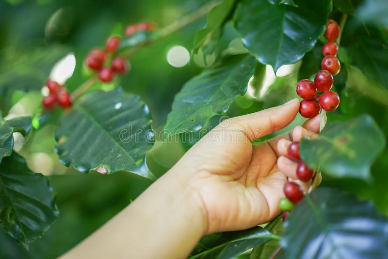 Frische Kaffeebohnen auf Baum stockbild