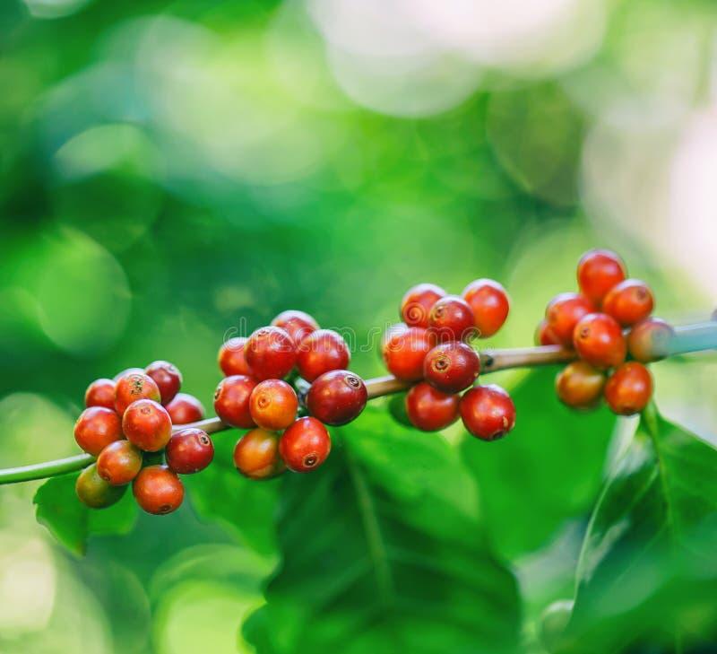 Frische Kaffeebohnen auf Baum lizenzfreie stockfotografie